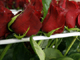 Valentines day roses(Photo: Reuters)