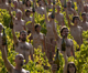 Naked volunteers pose for US photographer Spencer Tunick in a vineyard of Pouilly-Fuisse in Burgundy for a Greenpeace campaign highlighting climate change(Photo: Reuters)