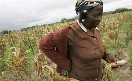 Maize farming in zimbabwe
