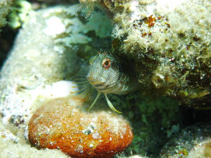 Parablennius pilicornis, poisson des fonds rocheux ou sableux.(Photo : M. Daufresne)