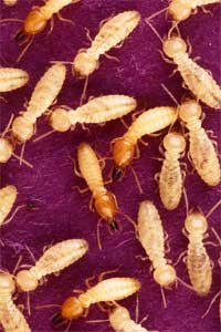Isoptera (termites)(Photo : domaine public)