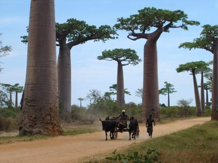 La célèbre allée des Baobabs au nord de Morondava.(Photo : Agnès Rougier/ RFI)